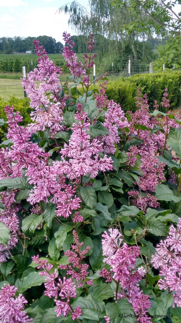 lilac in May