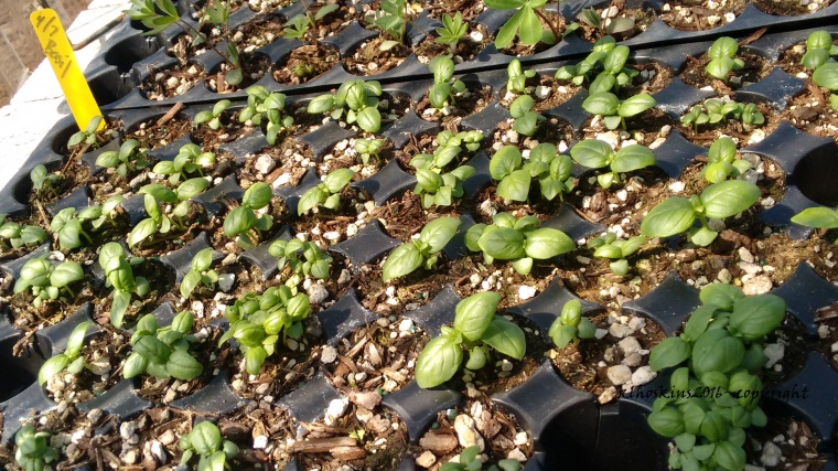 May 2016_greenhouse babies (1)