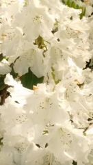 May 2016_white rhodie