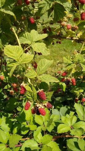 berries_june 2016 (2)