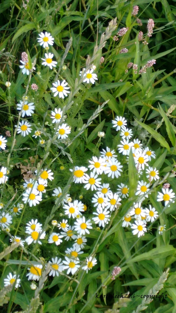 daisies and pink blooms_june 2016