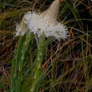 more Bear Grass