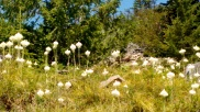 field of Bear Grass