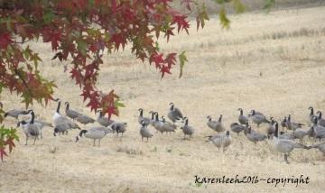 herd of birds_june 2016