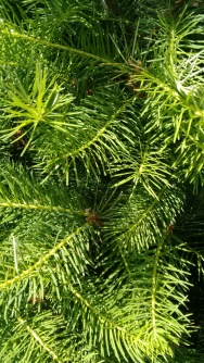 holiday trees_june 2016 (10)