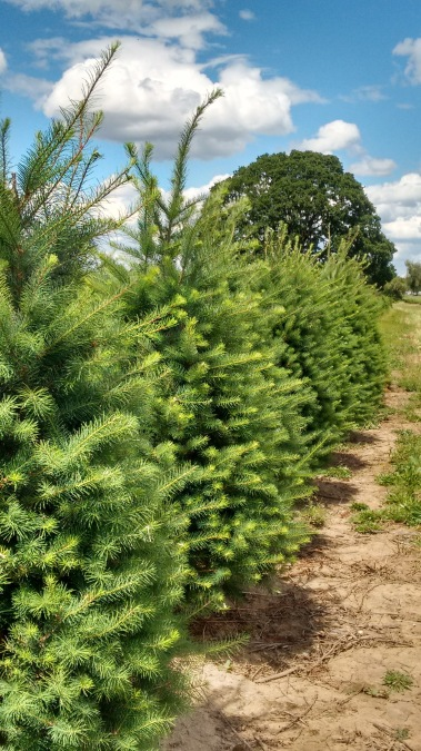 holiday trees_june 2016 (4)