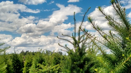 holiday trees_june 2016 (7)