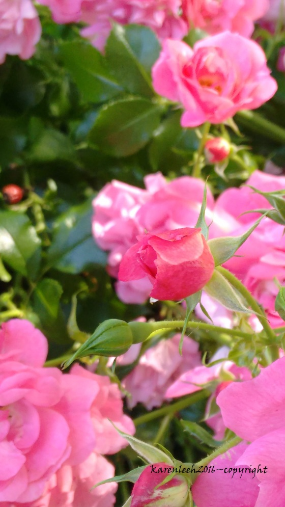 tylers rose_may and june 2016 (4)