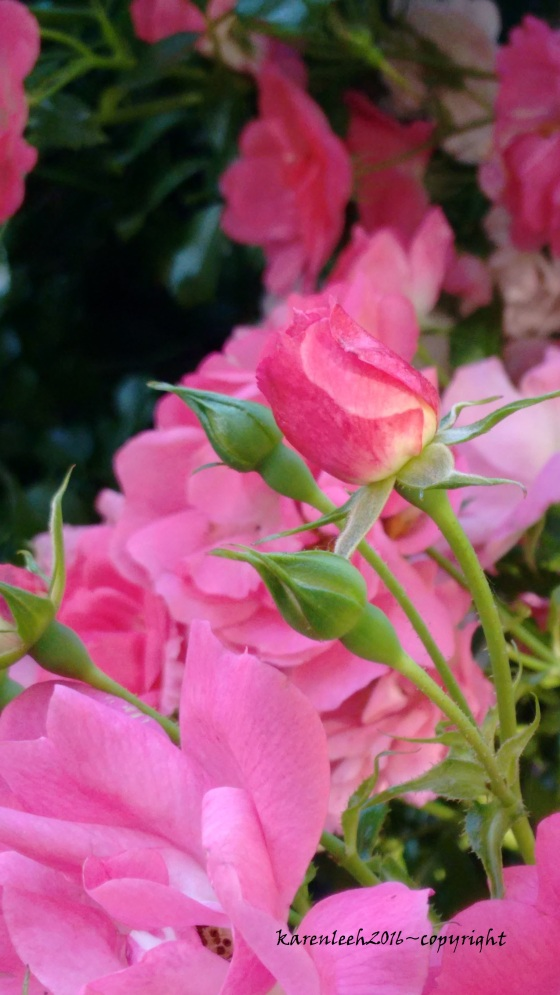 tylers rose_may and june 2016 (6)