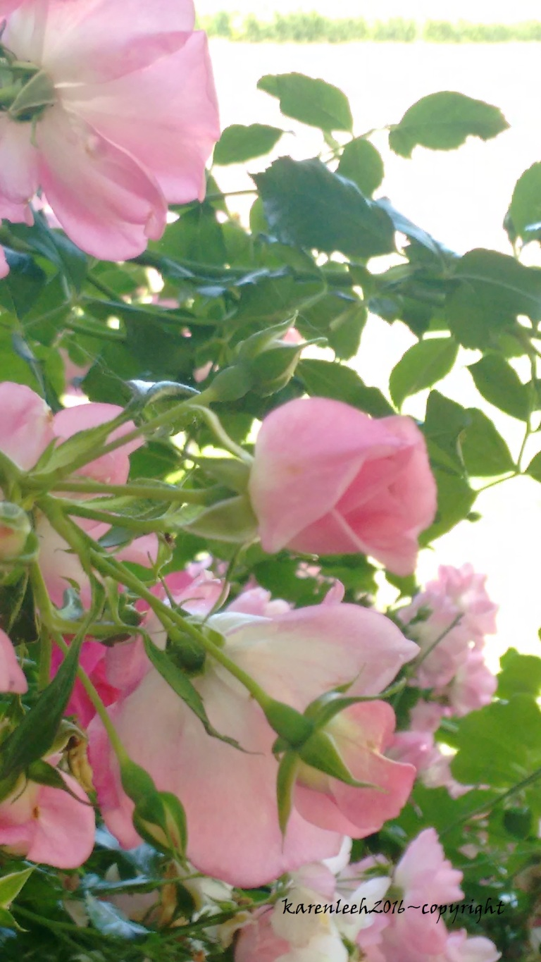 tylers rose_may and june 2016 (9)