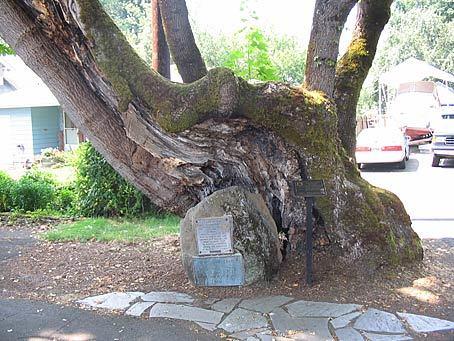 pow-wow-tree-oregon-travel-experience-dot-com-photo