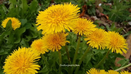 dandelion_april 2017 (9)