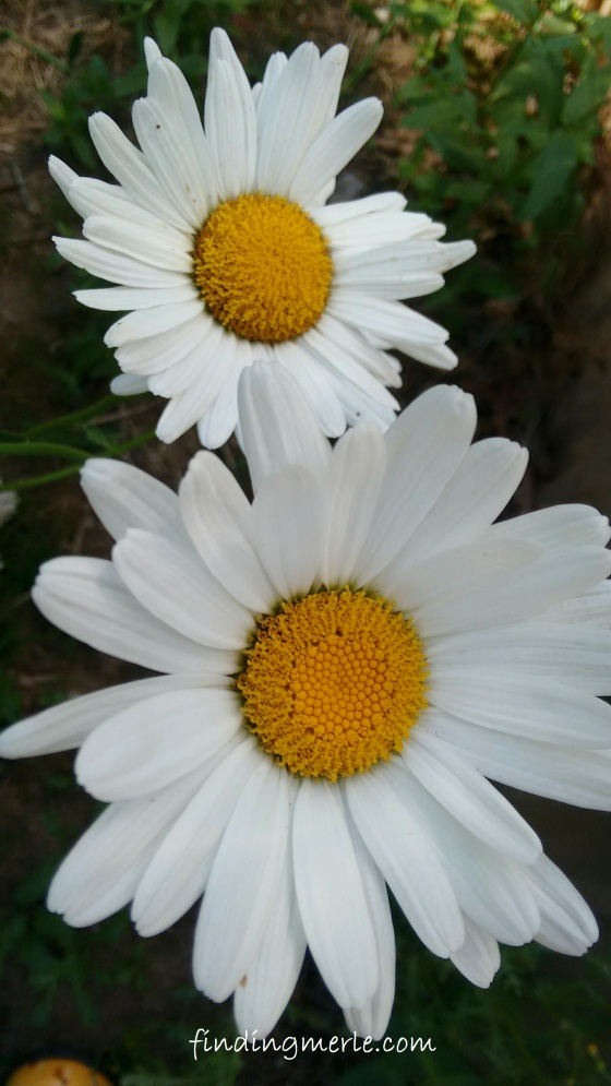daisies from last year