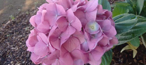 cropped-karen_pink-hydrangea.jpg