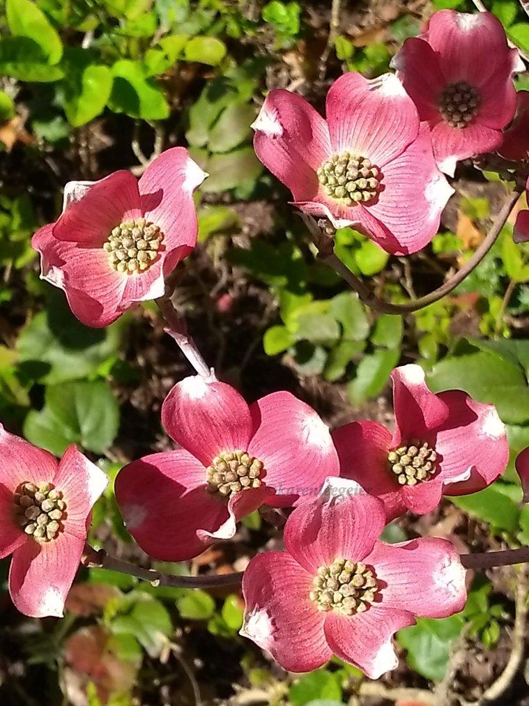 geier_yard spring flowers_2018 (10)