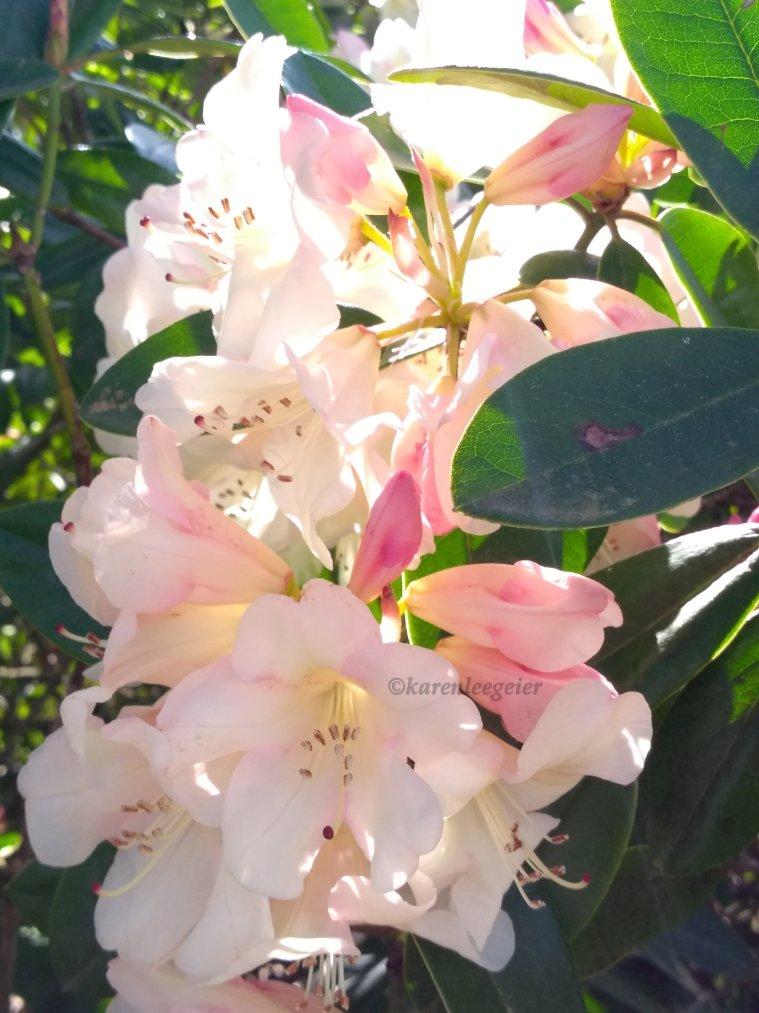 geier_yard spring flowers_2018 (2)