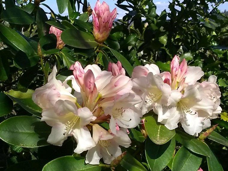 geier_yard spring flowers_2018 (5)