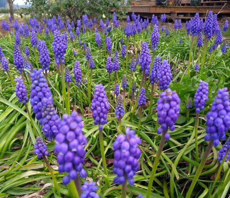 geier_yard_spring_grape hyacinth